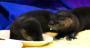 Watch Baby Otters Eat ScrambledEggs