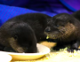 Watch Baby Otters Eat Scrambled Eggs